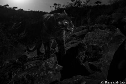 105626714_willbl-black-leopard-4.jpg