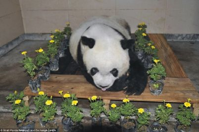 44437FEC00000578-4882778-Staff_at_the_Strait_Panda_Research_and_Exchange_Centre_put_flowe-a-45_1505381280289.jpg