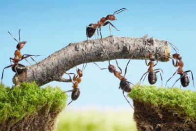 8a-ants-building-bridge-123820888.jpg