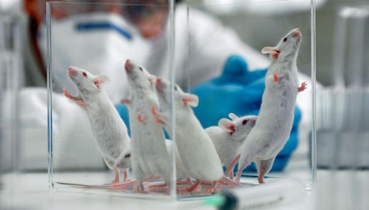 GettyImages-95011864-mice-lab-mouse-1120.jpg