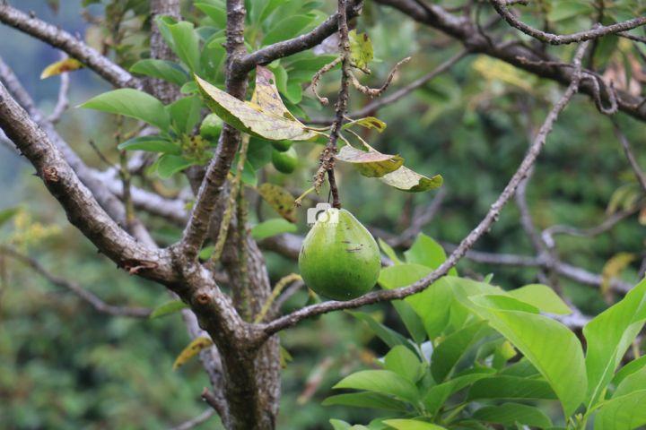avocado-fruit-large.jpg