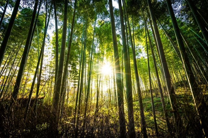 beautiful-landscape-of-bamboo-grove-in-the-forest-NTADKEU.jpg