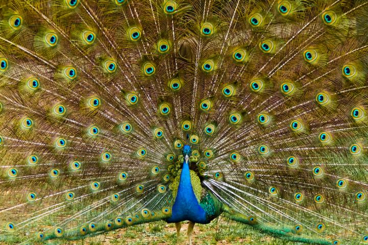 beautiful-peacock-feathers-P63HGMT.jpg