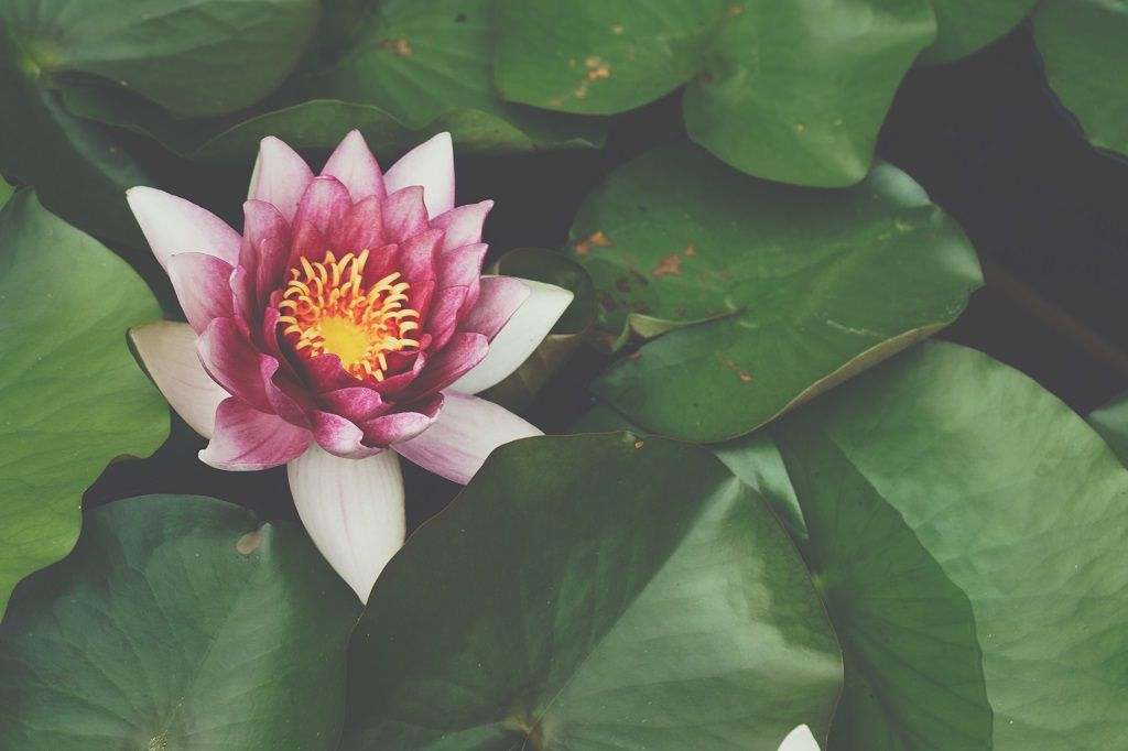 beautiful-waterlily.jpg