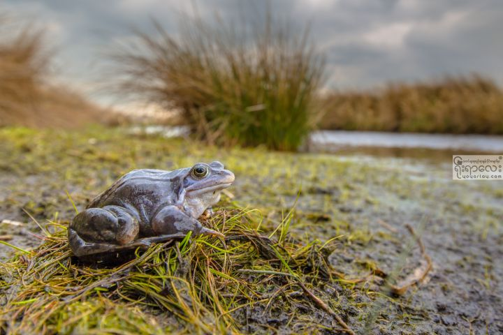 blue-moor-frog-in-breeding-habitat-P8QWE67.jpg