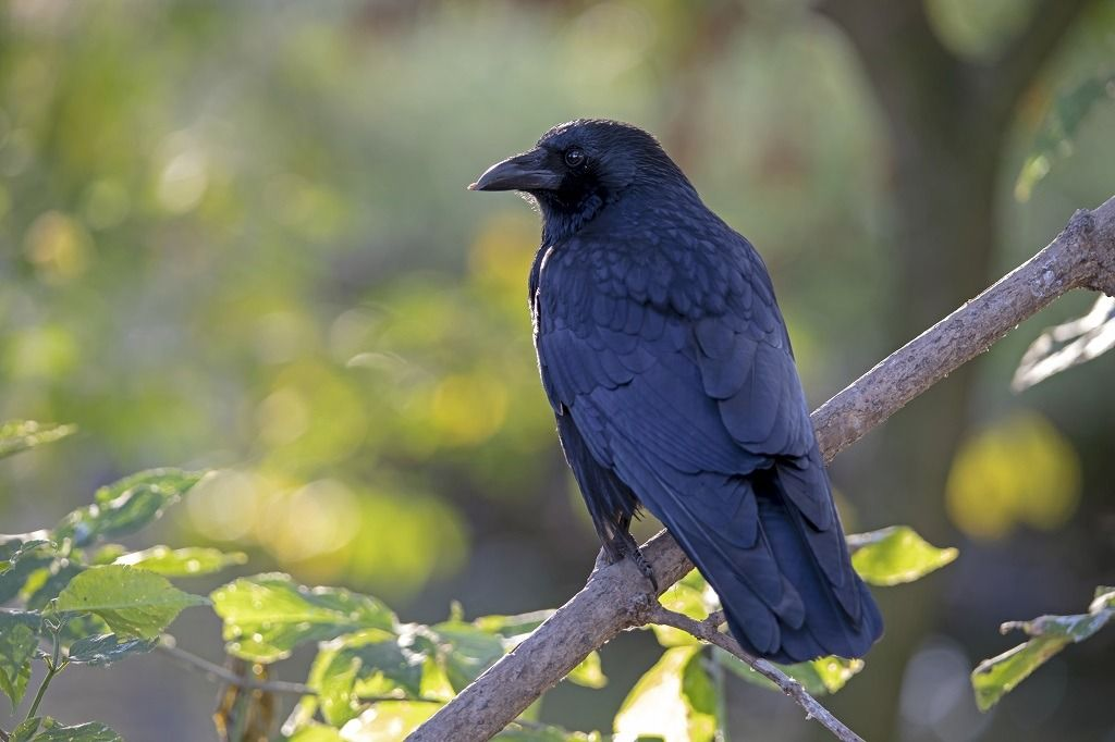 carrion-crow-on-a-tree-branch-8D26TLZ.jpg