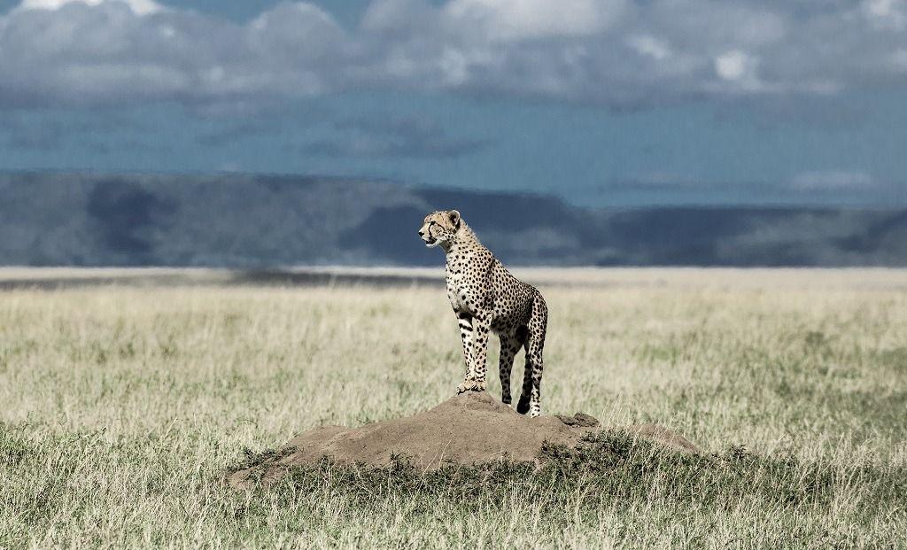 cheetah-on-a-mound-watching-around-in-serengeti-27EBV6A.jpg