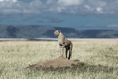 cheetah-on-a-mound-watching-around-in-serengeti-27EBV6A.jpg