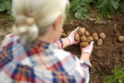 farmer-with-potatoes-at-farm-garden-PC7HFEQ-e1565530937270.jpg