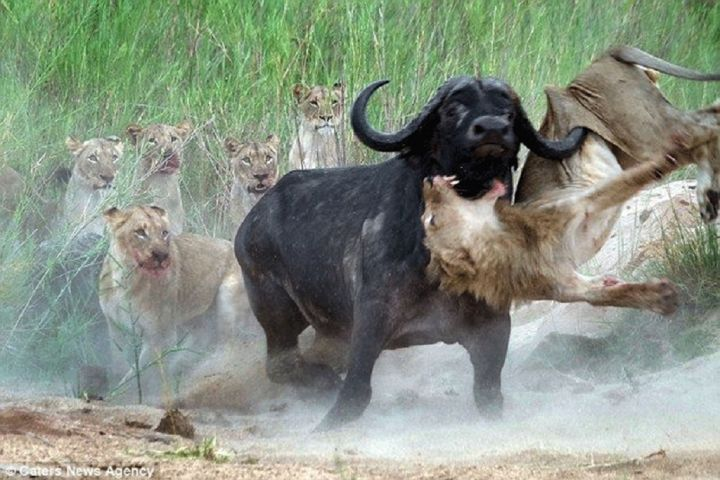lion-buffllo.jpg