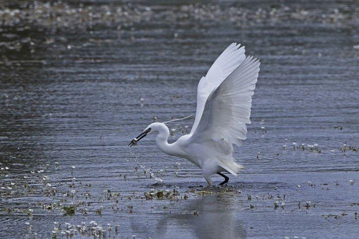 little-egret-egretta-garzetta-PKEKTL3.jpg