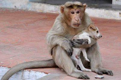 monkey-adopts-puppy-erode-india-131.jpg