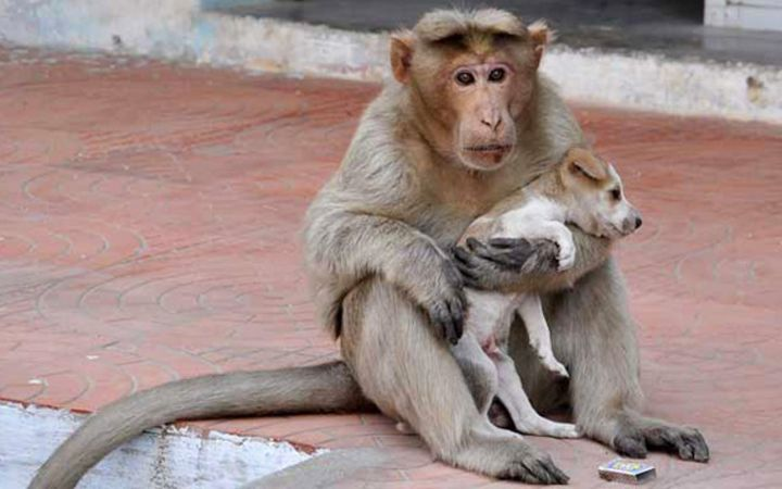 monkey-adopts-puppy-erode-india-131.jpg