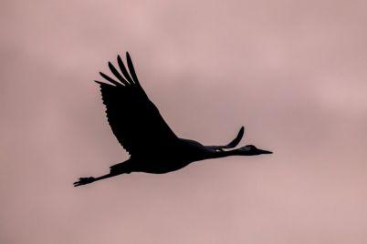 one-migrating-eurasian-crane-against-pink-sky-PVRJ3FT-e1565592244278.jpg