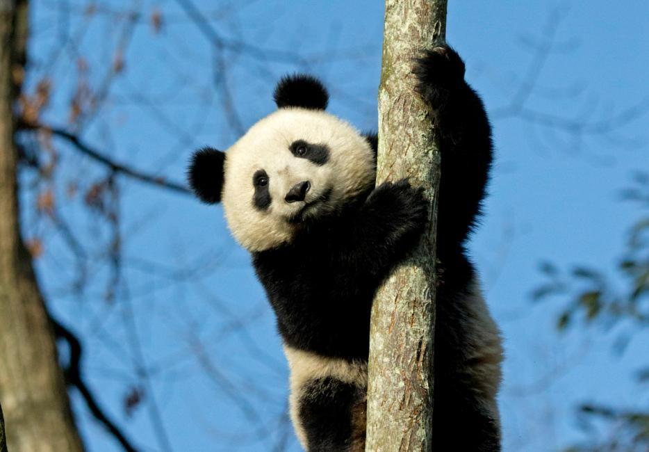 panda-to-tree.jpg