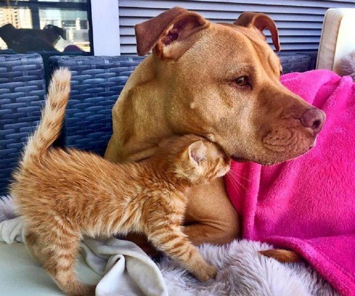 pitbull-cat.jpg