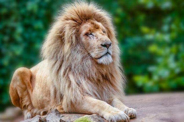 proud-lion-portrait-PMYECWL.jpg
