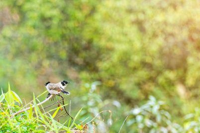pycnonotus-aurigaster-birds-PKCNMJ8.jpg