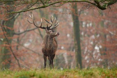 red-deer-cervus-elaphus-P44AGWE-e1563718514506.jpg
