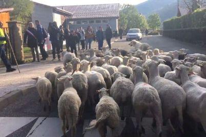 skynews-sheep-enrolled-in-school_4662397.jpg
