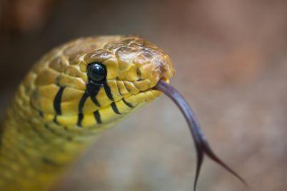 snake-head-PLXQJHA.jpg