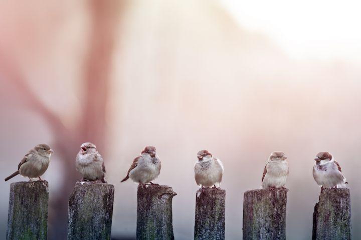 sparrows-PV4LJKU.jpg