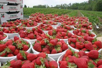 strawberries-large.jpg