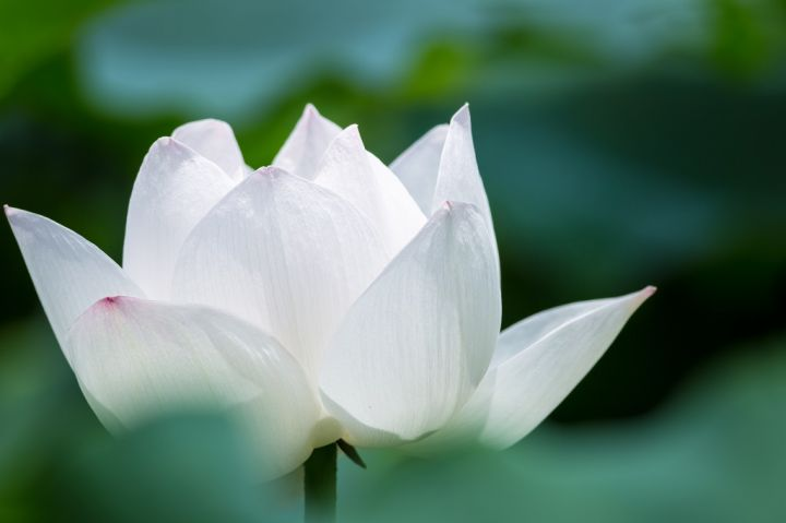 white-lotus-flower-closeup-in-summer.jpg