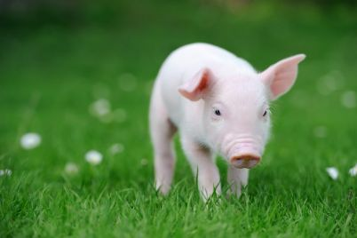 young-pig-on-grass-PXDR4UT-e1565592681633.jpg